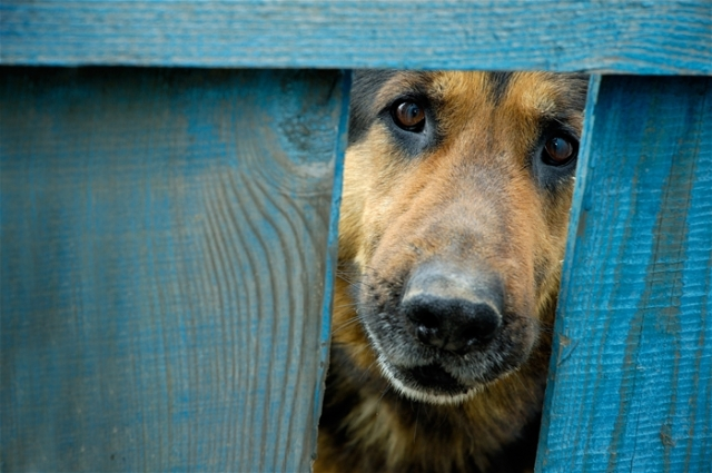 German shepherd dog looking through hole in fence guarding house
